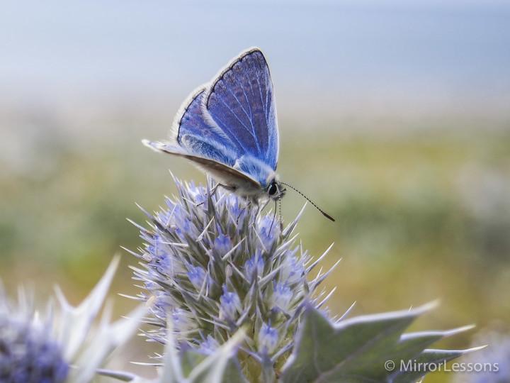 A Common Blue feeding on sea holly in Tywyn, Wales