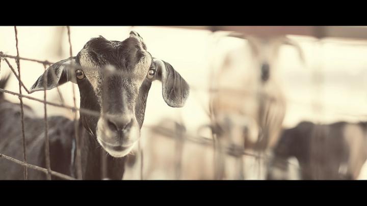 angga santoso - call of the goats