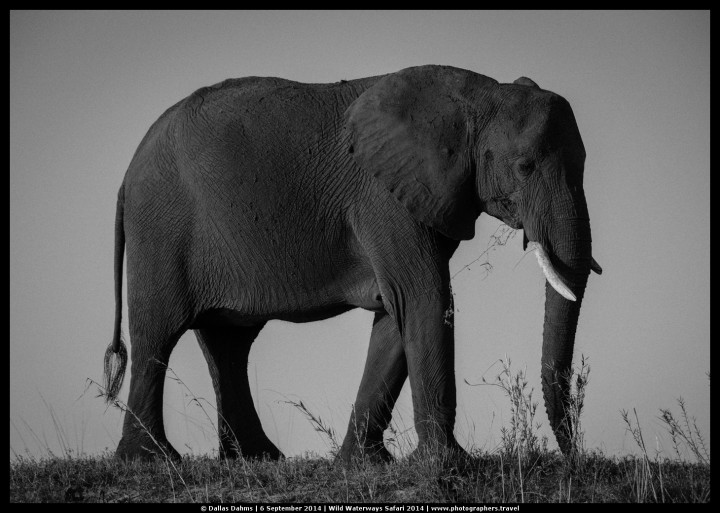 Elephant in B&W on Chobe river - E-M1, 1/1600, f/ 7/2, ISO 200