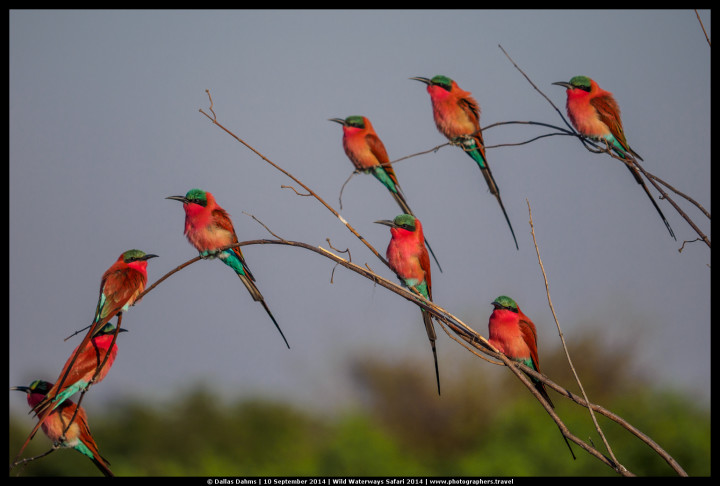 Carmine bee eaters on Zambezi river - E-M1, 1/2500, f/ 3.5, ISO 200