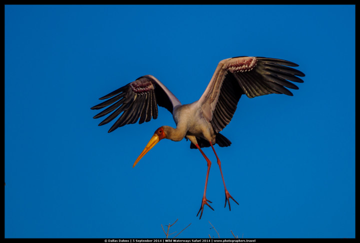 A yellow-billed stork comes in for a landing on the Chobe river - E-M1, 1/2500, f/ 7/2, ISO 200