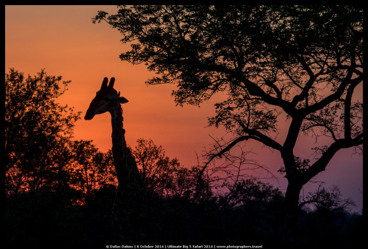 Giraffe sihouette at sunset (Sabi Sands, South Africa) - E-M1, 1/800, f/ 4.5 , ISO 320