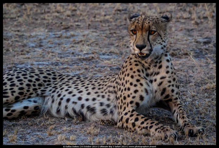Male cheetah at sunset (Sabi Sands, South Africa) - E-M1, 1/400, f/ 59/10, ISO 2500