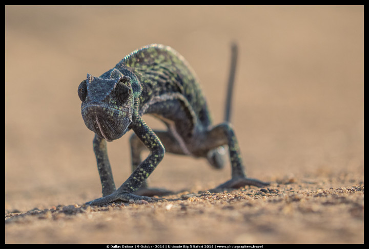 Chameleon on the road in Sabi Sands, South Africa - E-M1, 1/1250, f/ 4, ISO 320