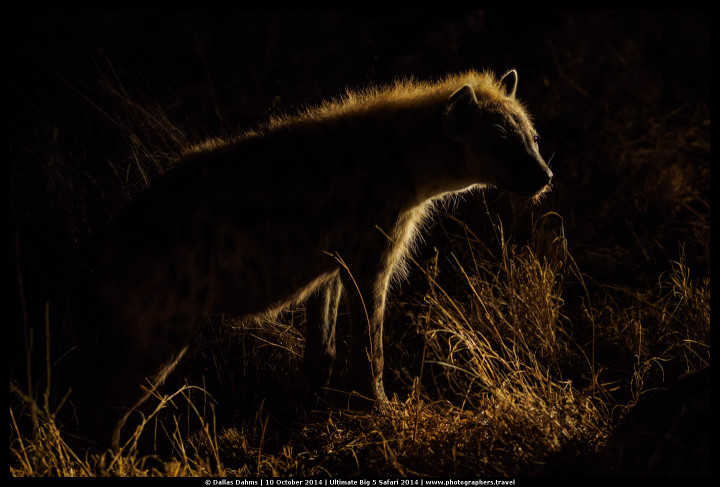Brown spotted hyena lit by a trackers spotlight at Sabi Sands, South Africa - E-M1, 1/200, f/ 2, ISO 2000
