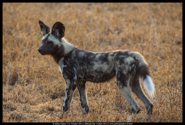 African Painted Wild Dog (Sabi Sands, South Africa) - E-M1, 1/320, f/ 4, ISO 500