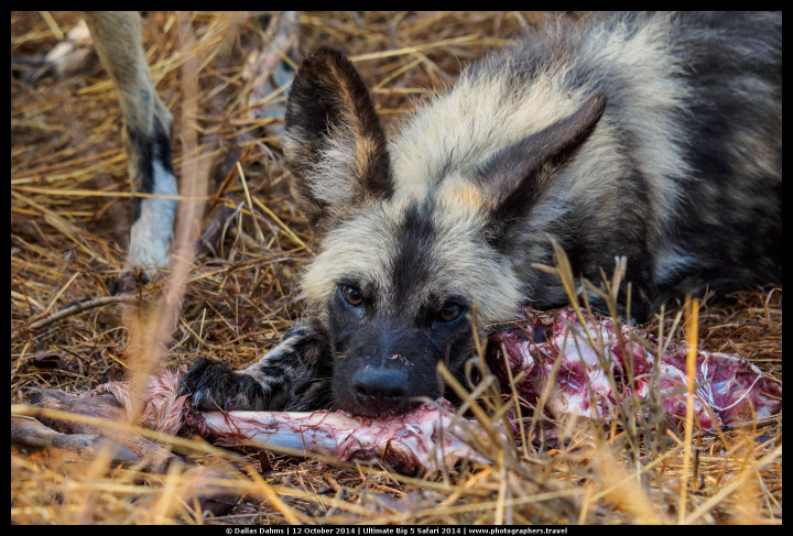 African Painted Wild Dog devouring the remains of an impala - E-M1, 1/400, f/ 5, ISO 640