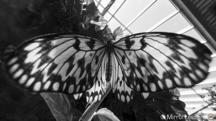 Wide butterflies – An Olympus 7-14mm f/2.8 and 8mm f/1.8 Fisheye gallery