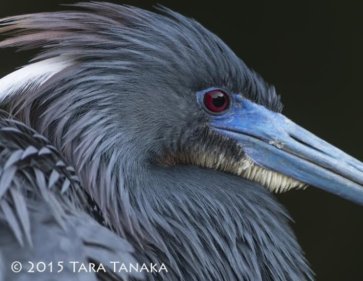 Tara Tanaka - Tri-coloured Heron