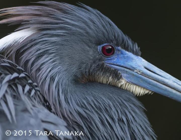 Tara Tanaka - Tri-coloured Heron