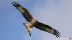A red kite, a crow and a cat walk into a bar… – Sony A7r II & Sigma 150-600mm Gallery