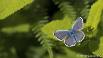 silver studded blue butterflies great orme