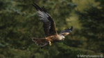 The red kites are back! – Sony A7r II, a6300, Sigma MC-11 and 150-600mm Contemporary lens