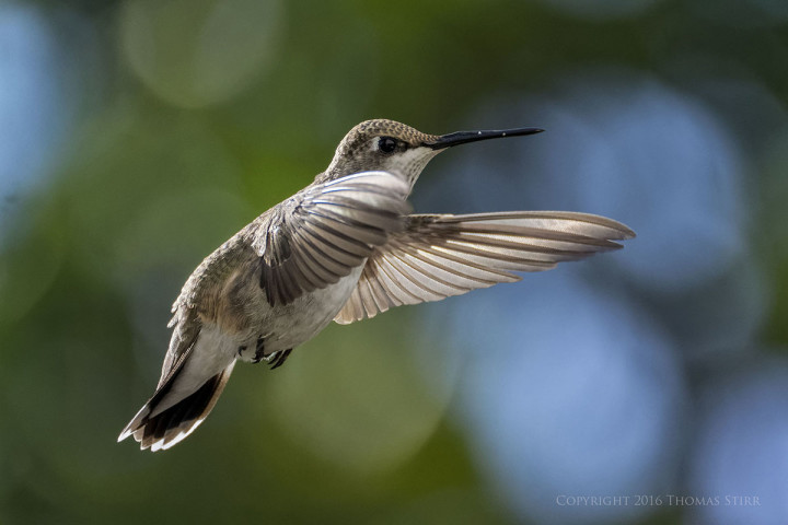 NIKON 1 V2 + 1 Nikon CX 70-300mm f/4.5-5.6 @ 300mm, efov 810mm, ISO 1600, 1/5000, f/5.6. Migrating hummingbird in flight Glendale Utah.