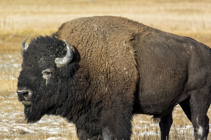 Nikon 1 V2 + 1 Nikon CX 70-300mm f/4.5-5.6 @ 300mm, efov 810mm, f/5.6, 1/160 sec, ISO-160. Bison, Yellowstone National Park, Wyoming.