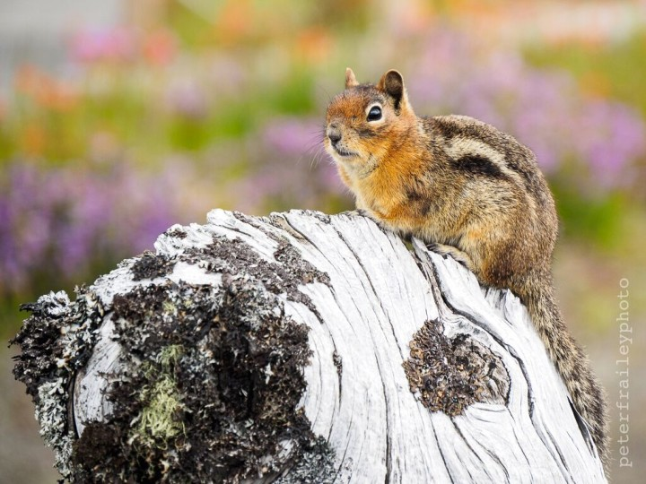 """Golden Mantel Ground Squirrel at Mount Saint Helens"" 1/400, F5.6, ISO 200, @140mm"
