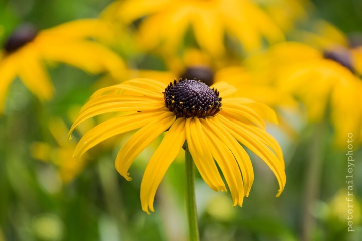 """Brown Eyed Susan"" 1/400, F5.6, ISO 400, @125mm"