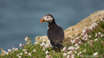 Visiting Puffins on Skomer Island with the Panasonic GH5 and GX80